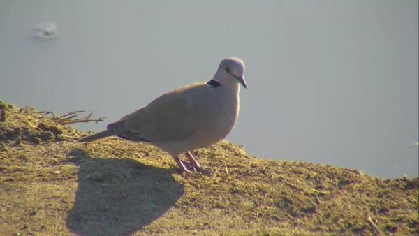 Cape Turtle Dove at Nkorho. - May 16 2016 - 3:52pm| Africam