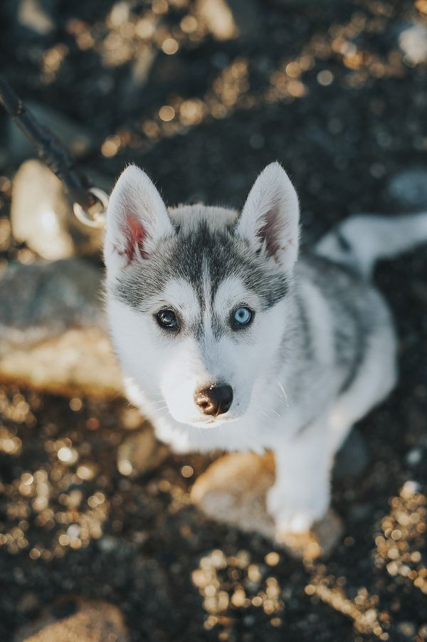 Adorable Siberian Husky One Brown Eye One Blue Eye C Nunn Other
