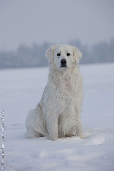 abbie's ancestor - the great pyr :)