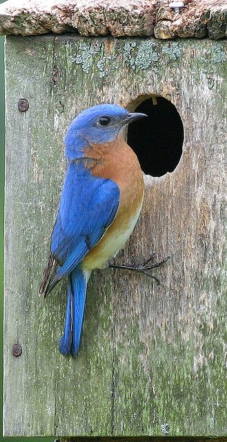 Western Bluebird. I enjoy these little guys at our cabin.