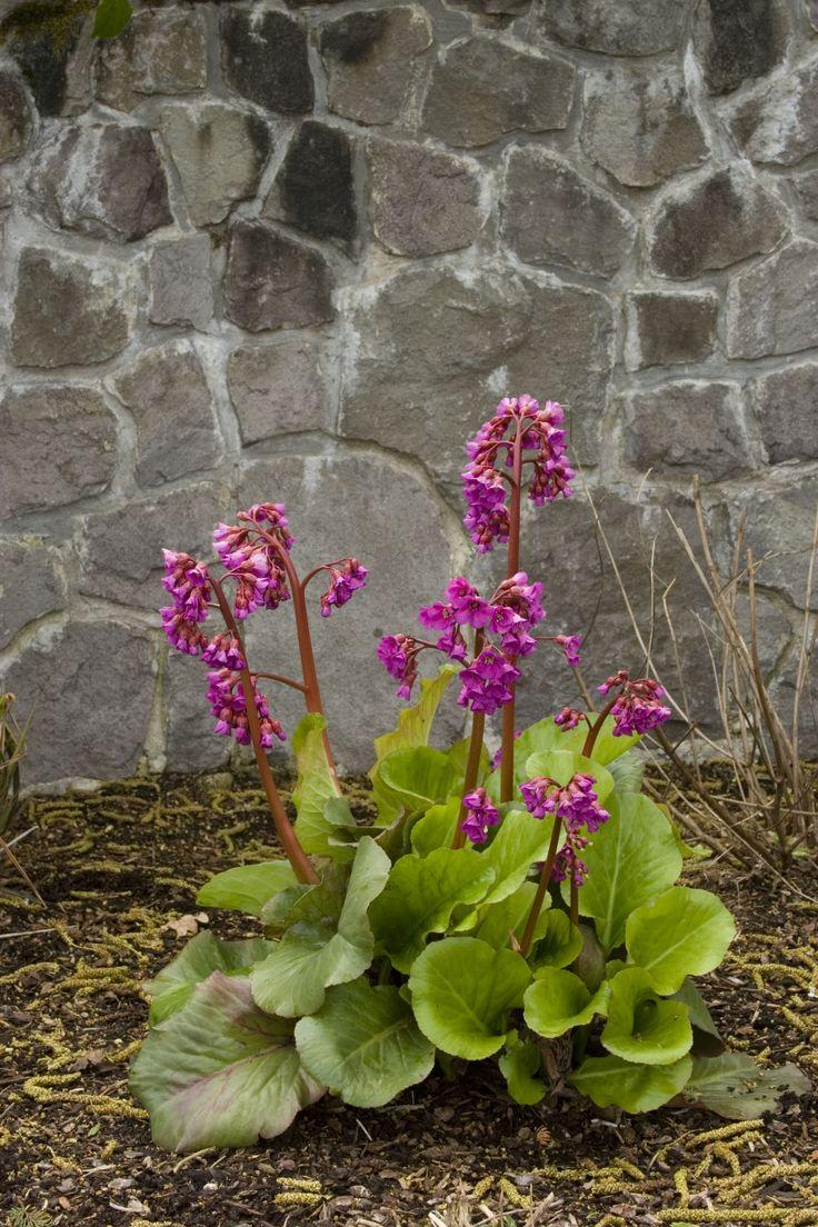 20 best bergenia winter glut images on pinterest perennials