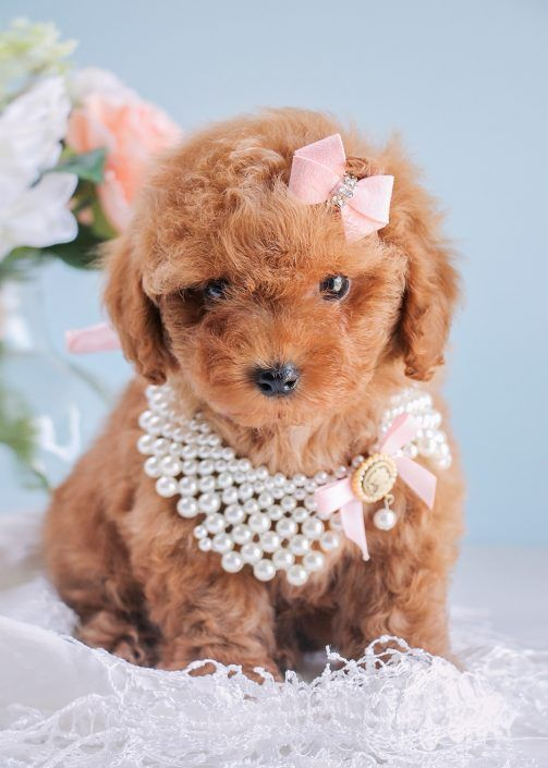 Toy Poodle Puppy by TeaCupsPuppies.com!