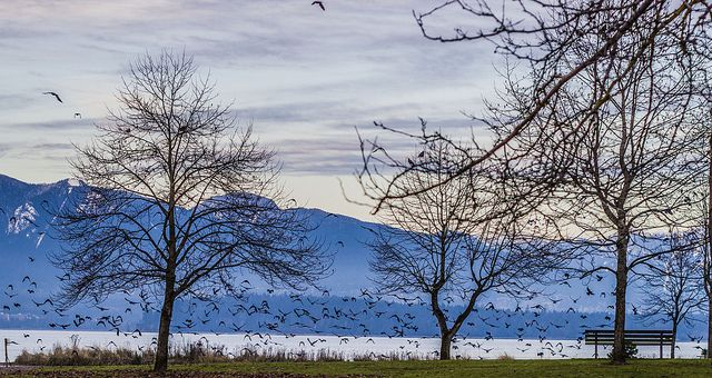 Twilight Crow Bike Ride Feb. 2 | Follow over 20,000 crows to their nests in Burnaby