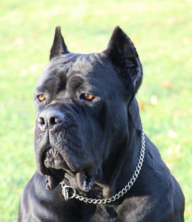 Black Pearl Cane Corso - Cane Corso breeders | Cane Corso puppies