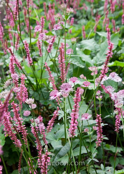 Persicaria 'Betty Brandt' & Astrantia 'Roma'