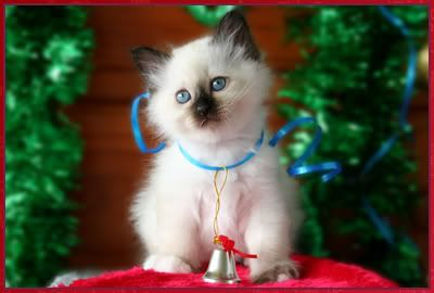 Gorgeous Birman Kittens For Sale - Cats & Kittens For Sale - Australia - Cat-World - Cat Forums & Cat Message Boards