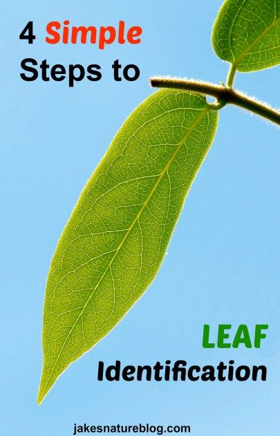 4 Simple steps to help you describe and identify leaves.