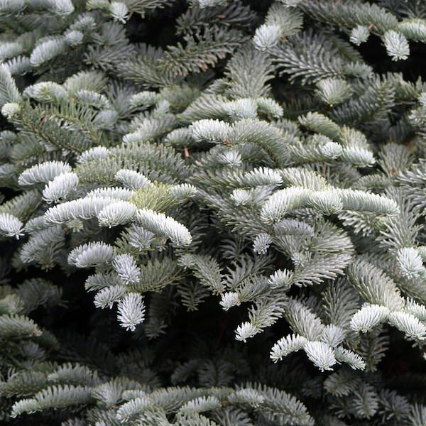 Abies procera 'Glauca' - Noble Fir - Tree Shrub - Majestic Trees