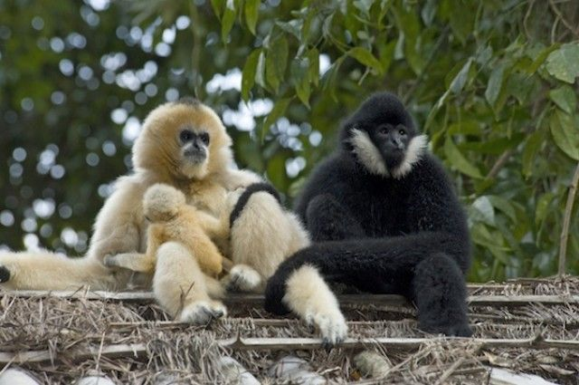 Gibbon Genome Reveals Why They're the Swing Kings - http://www.viralbuzzspot.com/gibbon-genome-reveals-why-theyre-the-swing-kings/