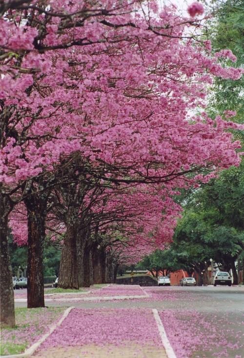 Ipê-roxo. #trees #PinMyCity #Maringá                                                                                                                                                      Mais