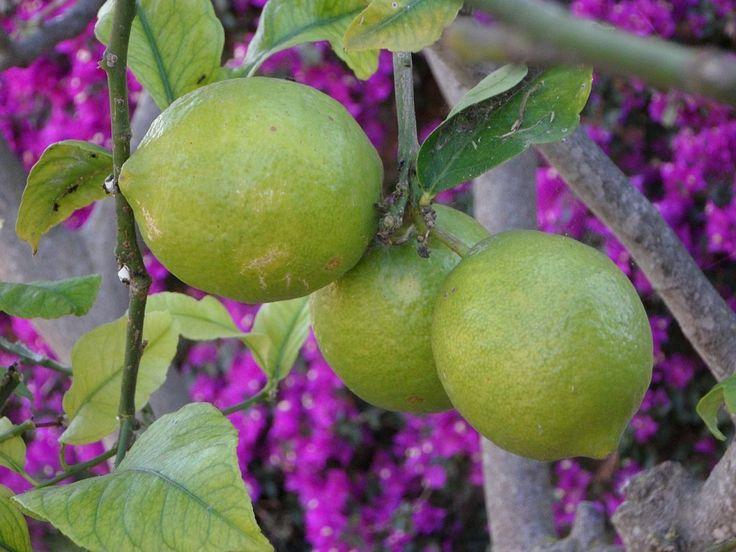 52 best images about arboles frutales on pinterest vines for Plantas frutales