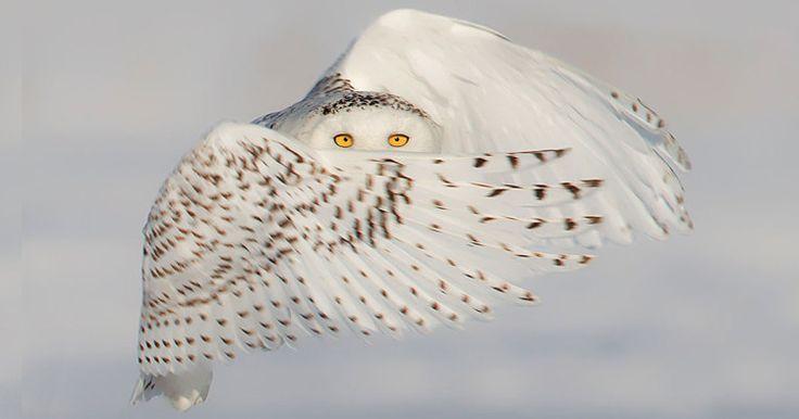 Chouette blanche souligne son intense regard d'un coup d'aile