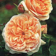 Evelyn  ColorApricot & Pink  Flower TypeDouble/Full Bloom  Size Medium Shrub  Short Climber  HardinessHardy  FragranceOld Rose and Fruit  Strong  RepeatingGood  Special CharacteristicsRepeat flowering. Particularly large blooms  Evelyn bears giant, apricot colored flowers of a shallow, saucer-like shape, with numerous small petals inter-twined within. This is not t
