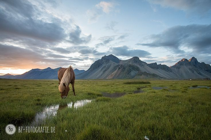 Icelandic midsummer night. Horses calmly grazing in epic surroundings.