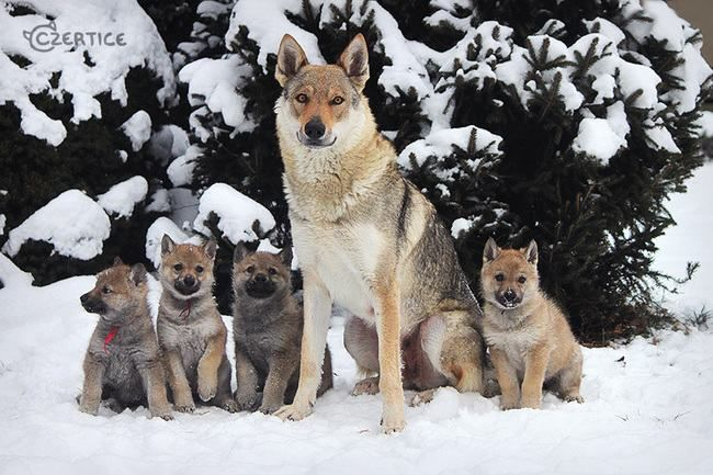 Perro lobo checoeslovaco. Es muy similar a un lobo, tanto en su apariencia como en su comportamiento.