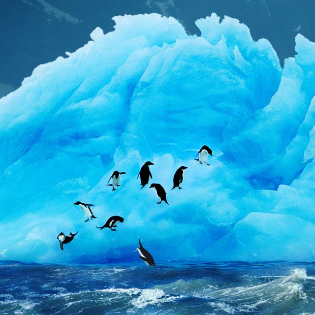 Adelie penguins leap into the water from a blue iceberg on Paulet Island, Antarctica (Steve Bloom Images, via The Telegraph)