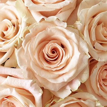 FiftyFlowers.com - Peaches and Cream Rose 150-229.00