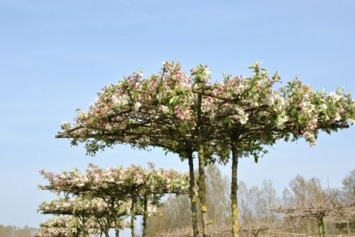 Malus 'Evereste' #flowering #tree #trees www.vdberk.co.uk