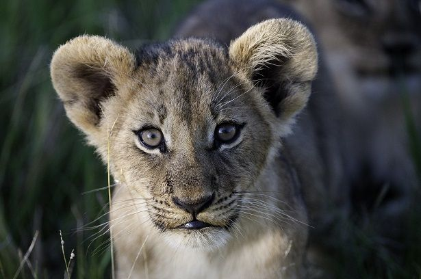 Lion cub in the Okavango Delta