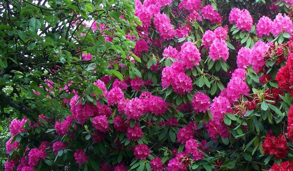 Interesting Facts About Rhododendron  Whether the rhododendron is an invasive species or not is a bit of a conundrum. The answer depends upon who you talk to and your definition of a native species. Read more here: http://www.tpknotweed.com/latest-news/rhododendron-considered-invasive-species