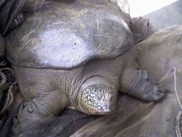 The Yangtze Giant Softshell Turtle (Rafetus swinhoei)