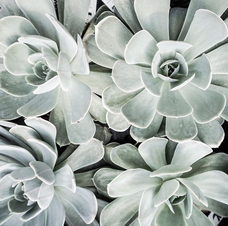 Color inspiration. Succulents in the softest shade of sage.