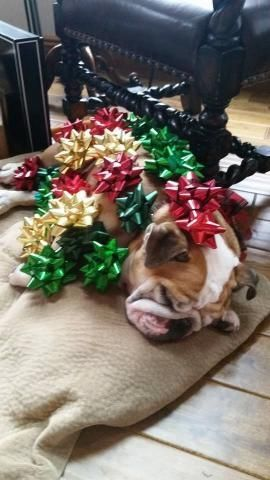 PetsLady's Pick: Sweet Christmas Wrapping Bulldog Of The Day...see more at PetsLady.com -The FUN site for Animal Lovers