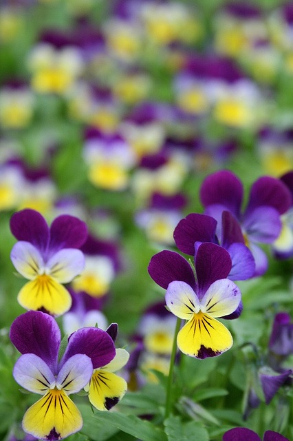 Johnny Jump Ups, Heartsease, Violias, Pansies... My grandmother used to teach me all the names of the flowers when i was little, these are my favourite.