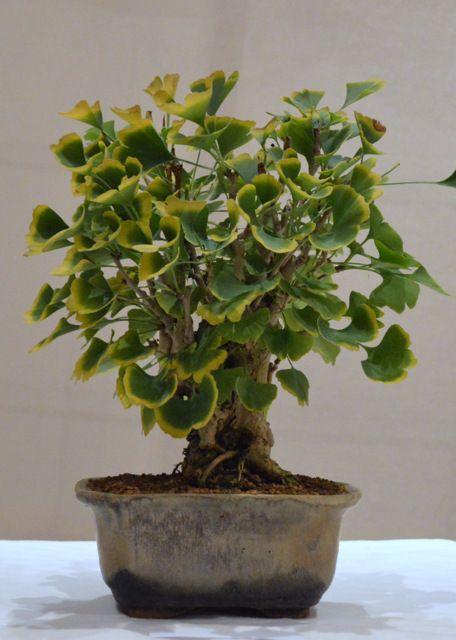 ginkgo biloba ginkgo bonsai pinterest. Black Bedroom Furniture Sets. Home Design Ideas