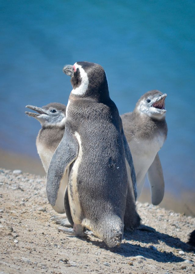 Mother penguin and sons by Obstinato Obstinato, via 500px