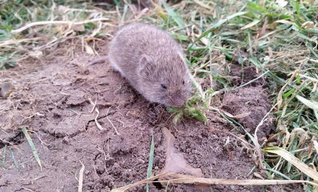 How to Get Rid of Voles in My Yard What's a vole?   how to get rid of voles in …