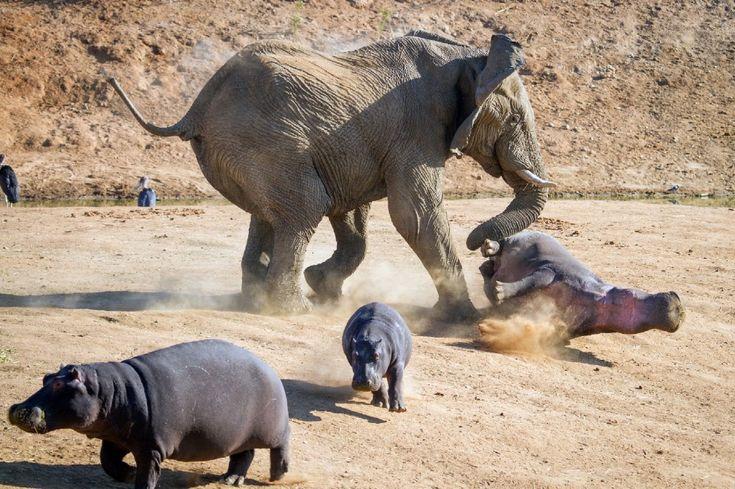 In difesa del cucciolo: mamma ippopotamo vs elefante
