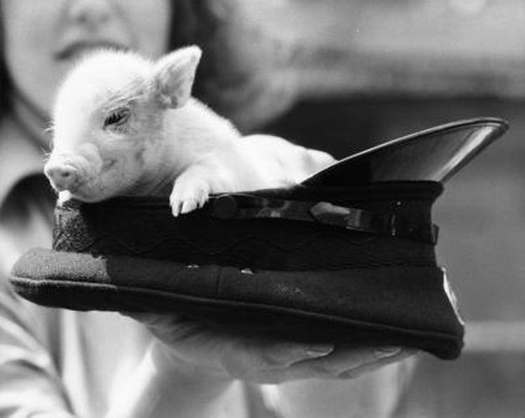 Teacup pigs -- also called pixie pigs, mini pigs or teacup potbelly pigs -- make intelligent, loving pets. In many ways, they require the same care as...