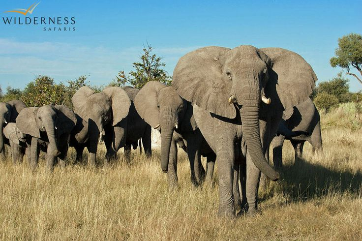 Owing to its location on the periphery of the Delta, Chitabe offers exciting year-round game viewing. #Botswana #Africa #safari #African_elephant