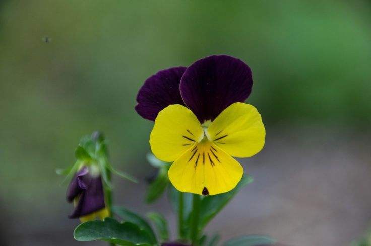 Wild Pansy is a lovely small herb Herbalists use for skin conditions, respiratory system, veins, joint inflammation and to stop pain.