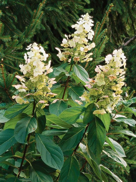 This is one of the hardiest and latest-blooming hydrangeas. It bears large, cone-shaped white flowers in summer that gradually turn reddish brown and persist into winter. For more flowering trees, look here: http://www.bhg.com/gardening/trees-shrubs-vines/trees/best-flowering-trees-shrubs/?socsrc=bhgpin041415peegeehydrangea&page=5