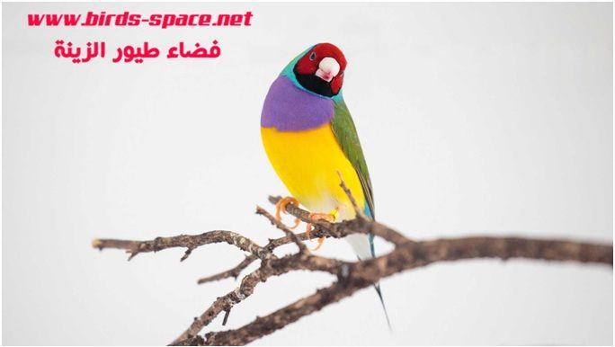 فاش القصبات الهوائية Birds Parrot