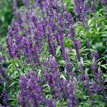 This stunning variety won an All-America Selections award for its masses of deep violet-purple flowers appearing summer into fall. It's more compact than many other types of blue salvia and produces more flower spikes. Name: Salvia farinacea 'Evolution' Size: To 16 inches tall and 14 inches wide Zones: Zones 8-10; it's treated as an annual in most places though. Grow it with: Add cheer and color to your summer garden with 'Evolution' salvia and a dwarf black-eyed Susan such as 'Toto Gold'.