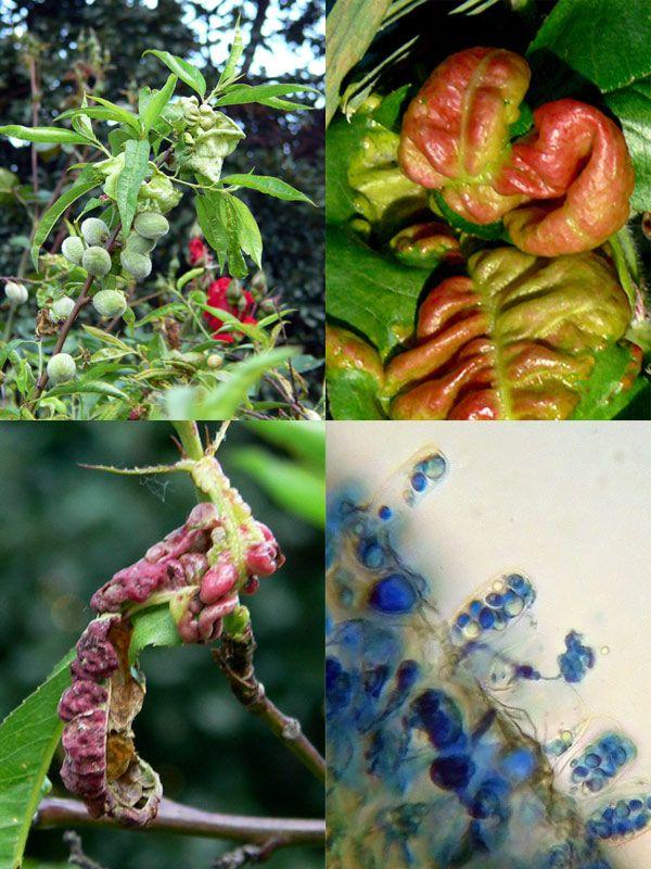 Taphrina deformans, Lepra de las hojas. Hongo que carece de fructificaciones visibles, ya que sus esporangios, de tipo asco, aparecen aislados y se desarrollan en las hojas, ramas jóvenes y ...