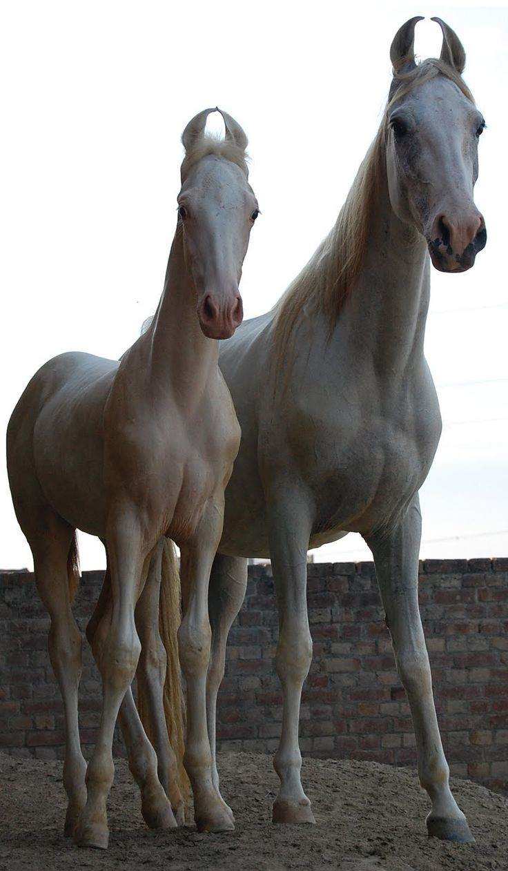 Lovely pair of Marwari horses, a rare breed of horse from the Marwar (or Jodhpur) region of India. Most known for its inward-turning ear tips.