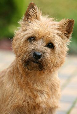 Cairn Terrier - what a sweet face!                                                                                                                                                                                 More