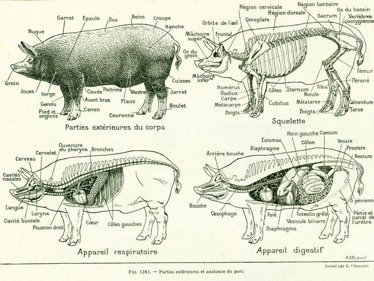 Populaire Plus de 25 idées uniques dans la catégorie Anatomie animale sur  ID23
