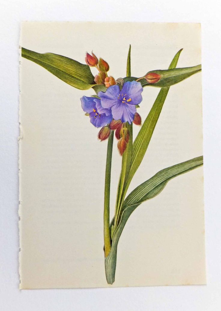 A personal favorite from my Etsy shop https://www.etsy.com/listing/183901106/spiderwort-vintage-flower-picture