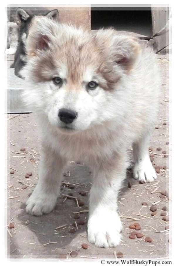 Gorgeous Yukon in Northern CA. Beautiful high content wolf dog puppy. One of the best looking timber wolf cross puppies I have had on my site. Mixed with giant Alaskan Malamute.