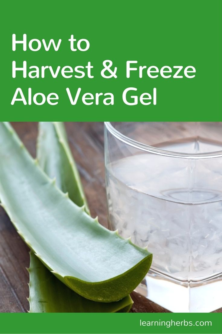 Harvest and freeze aloe vera gel so you're always prepared! Use these healing aloe cubes in a smoothie, rub them on sunburned shoulders, and more...