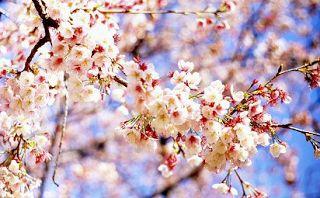 nama bunga dalam bahasa jepang dan artinya,bahasa jepang bunga melati,bahasa jepang bunga sakura,bahasa jepang bunga teratai,bahasa jepang bunga matahari,bahasa jepang bunga mawar,