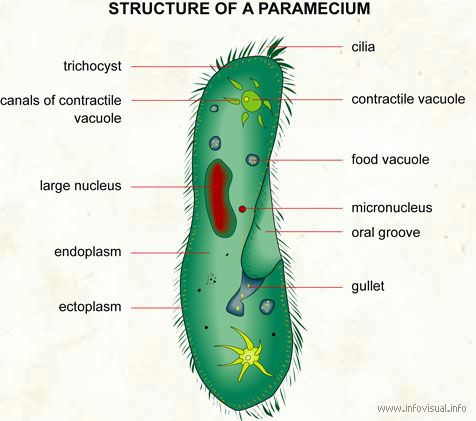 1000 images about protists parameciums on pinterest. Black Bedroom Furniture Sets. Home Design Ideas