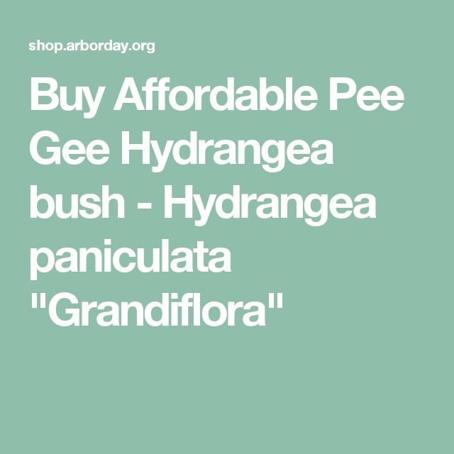 "Buy Affordable Pee Gee Hydrangea bush - Hydrangea paniculata ""Grandiflora"""