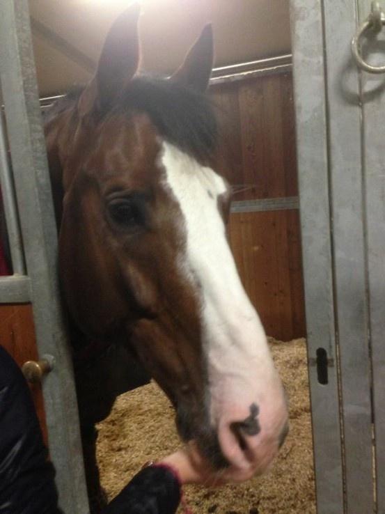 Chopin, il cavallo di Filippo Bologni, si riposa in box dopo l'ottimo 2° post in GP Young Rider del Test Event Giovanile in programma dal 6 al 10 marzo all'Horses Riiera Resort di San Giovanni in Marignano.