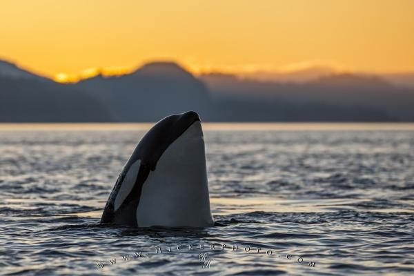 Spy hopping Orca Killer whale during sunset off Vancouver Island, British Columbia, Canada.